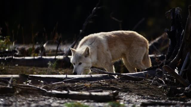 Powerful North American wolf in woodland wilderness habitat