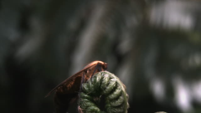 powerful winds blow a hawk moth off a curled fern frond. available in hd. - frond stock videos & royalty-free footage