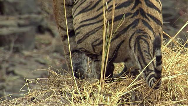 vídeos y material grabado en eventos de stock de a powerful young male tiger marking its territory - medium shot - medium group of animals