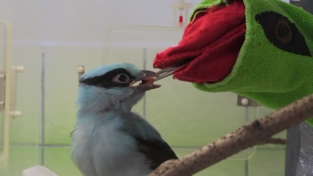 Prague zoo says that its small flock of critically endangered Javan green magpies is growing thanks in part to a special new feeding technique using...