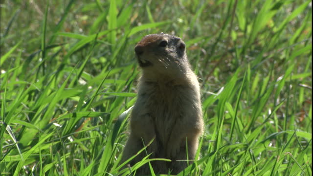 A prairie dog barks while it stands in the grass.