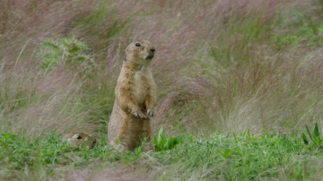 MS Prairie dog calling at grass / Wichita Mountains Wildlife Refuge, Oklahoma, United States