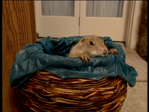 Prairie dog climbs out of waste basket
