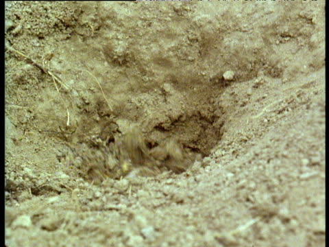 prairie dog covered in soil emerging from earth-filled burrow in badlands of south dakota - badlands national park stock videos & royalty-free footage