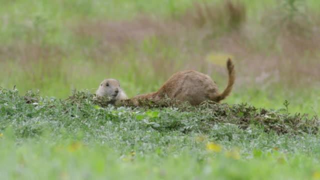 MS Prairie dog digging burrow in meadow / Wichita Mountains Wildlife Refuge, Oklahoma, United States