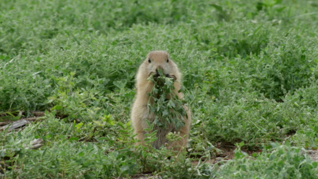 MS Prairie dog eating grass / Caprock Canyons State Park, Texas, United States
