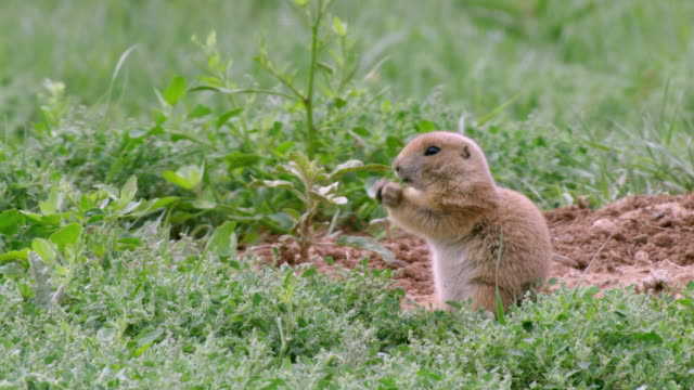 MS Prairie dog eating near entrance to burrows / Caprock Canyons State Park, Texas, United States