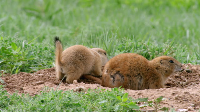 ms prairie dog foraging near entrance to burrows / caprock canyons state park, texas, united states - foraging stock videos & royalty-free footage