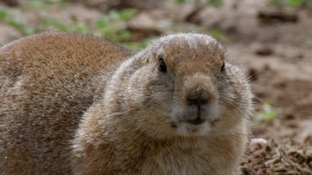 CU Prairie dog foraging near entrance to burrows / Caprock Canyons State Park, Texas, United States