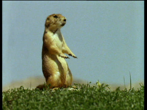 Prairie dog holding out front paws whilst sitting on back legs in Badlands of South Dakota