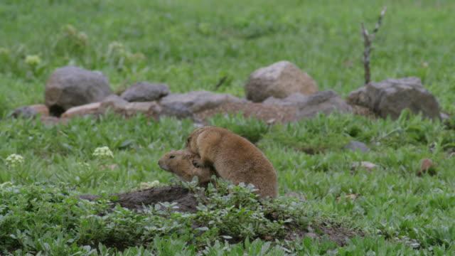 MS Prairie dog mating at meadow, / Wichita Mountains Wildlife Refuge, Oklahoma, United States
