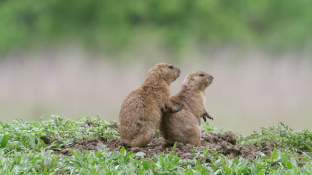 ms prairie dog mating / wichita mountains wildlife refuge, oklahoma, united states - animal behaviour stock videos & royalty-free footage