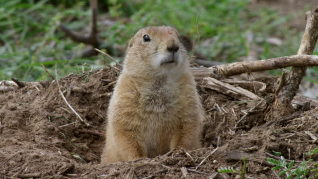 MS Prairie dog peeking out of burrow / Caprock Canyons State Park, Texas, United States