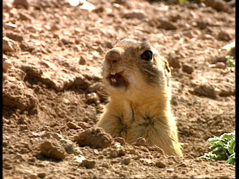 CU Prairie dog peering out of burrow, Alarm calling