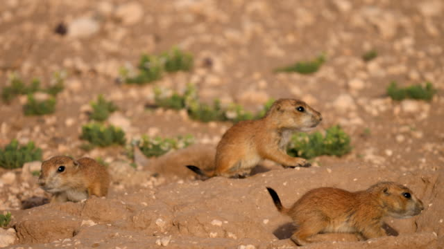 prairie dog pups - prairie stock videos & royalty-free footage