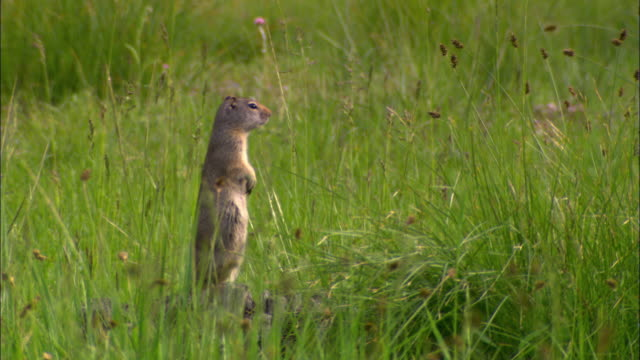 ws prairie dog (cynomys) standing hind legs and watching its environment, surrounded by tall, green grass / grand teton national park, wyoming, usa - parco nazionale del grand teton video stock e b–roll