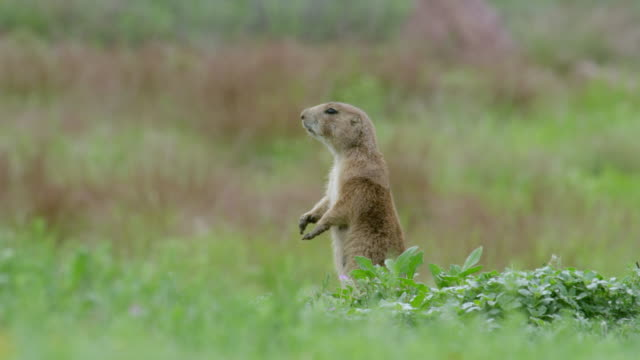 vidéos et rushes de ms prairie dog standing in meadow / wichita mountains wildlife refuge, oklahoma, united states - trois animaux