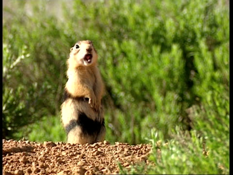 MS Prairie dog standing up on back legs, Alarm calling