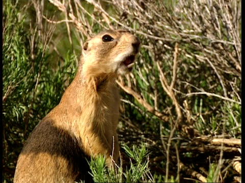 CU Prairie dog standing up on back legs, Alarm calling