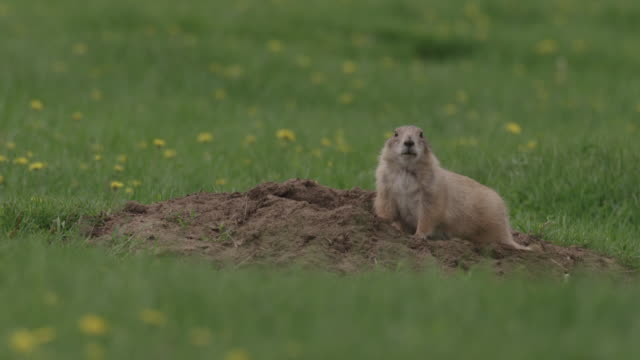 prairie dog stares and goes into hole - hole stock videos & royalty-free footage