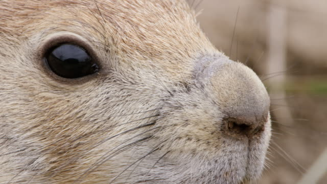 stockvideo's en b-roll-footage met cu pan prairie dog staring / wichita mountains wildlife refuge, oklahoma, united states - supersensorisch