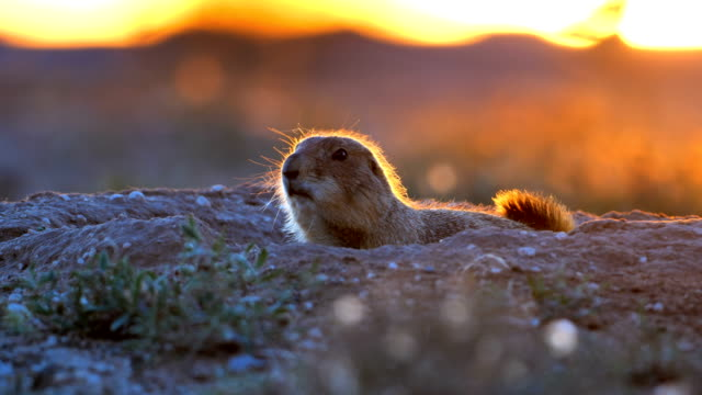 prairie dog - rodent stock videos & royalty-free footage
