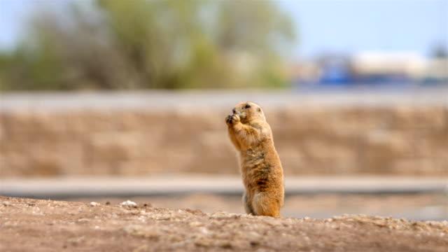 prairie dog - prairie stock videos & royalty-free footage