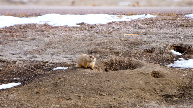 prairie dog - great plains stock videos & royalty-free footage