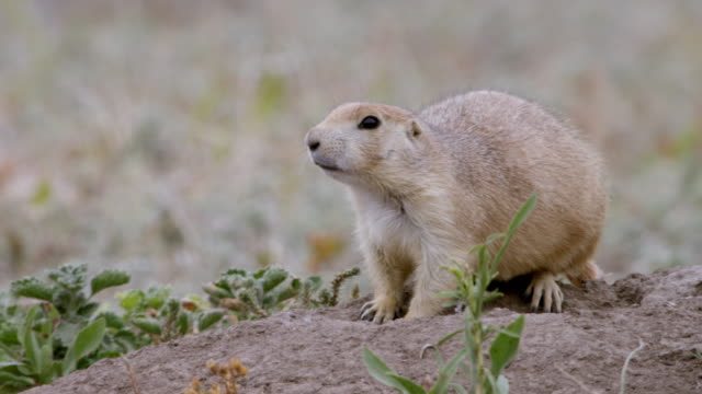 MS Prairie dogs eating and keeping watch around burrow in grassy field / Wind Cave National Park, South Dakota, United States