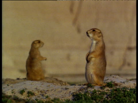 vidéos et rushes de prairie dogs making odd movements to signal possession of territory in badlands of south dakota - parc national des badlands