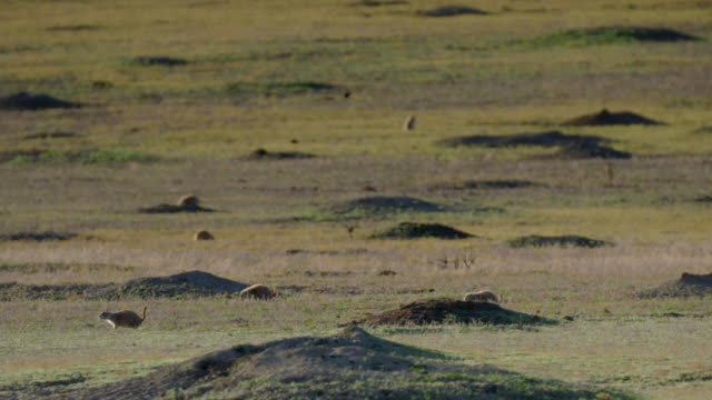 prairie dogs on northern great plains, usa - montana stock-videos und b-roll-filmmaterial