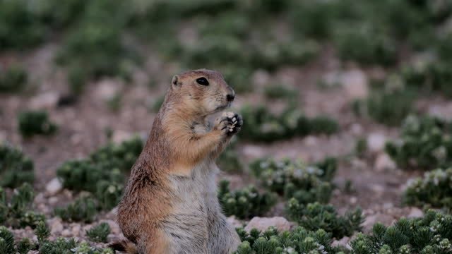 prairie dogs: west texas - great plains stock videos & royalty-free footage