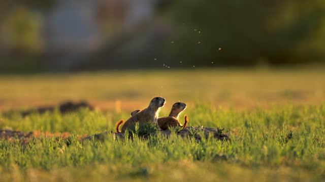 prairie dogs: west texas - prairie stock videos & royalty-free footage