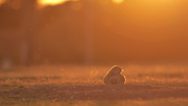 prairie dogs: west texas - rodent stock videos & royalty-free footage