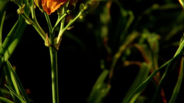プレーリーの花。 オレンジ daylily - ワスレナグサ点の映像素材/bロール