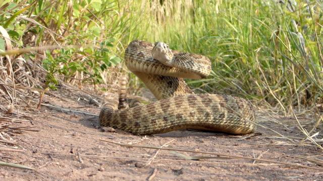 vídeos y material grabado en eventos de stock de prairie serpiente de cascabel enrollado en red rocks camino morrison colorado rocky mountains - serpiente víbora