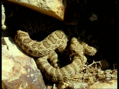 ms prairie rattlesnake, crotalus viridis, resting sheltered in crevice of rock face, slithering around, edited sequence, usa; sequence of clips, special terms apply - crevice stock videos & royalty-free footage