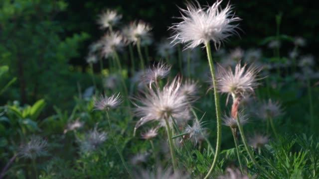 prairie smoke pflanzensamenkopf - wildblume stock-videos und b-roll-filmmaterial