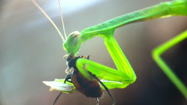 praying mantis eating a fly - eaten stock videos & royalty-free footage
