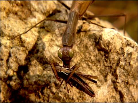 vídeos de stock, filmes e b-roll de praying mantis eating cricket, andalusia, southern spain - invertebrado