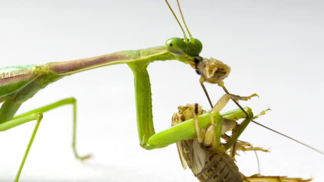 praying mantis feeding - cricket insect stock videos and b-roll footage