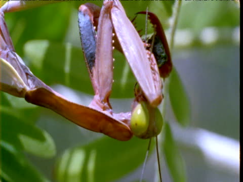 Praying mantis hangs upside down eating prey in bush, Queensland