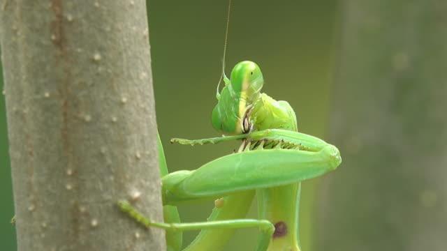 stockvideo's en b-roll-footage met biddende mantis hoofd - voelspriet