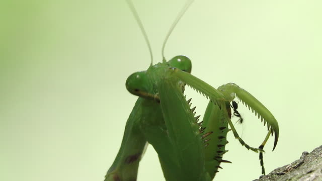 Praying mantis hoofd