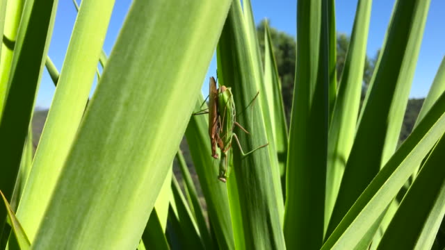 praying mantis in love! - symbiotic relationship stock videos & royalty-free footage
