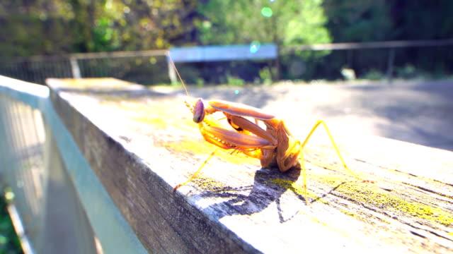 Praying mantis in wood fence