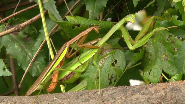 praying mantis mating (hadonggun,south korea) - sex and reproduction stock videos & royalty-free footage