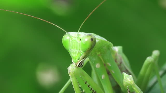 Praying mantis op een blad