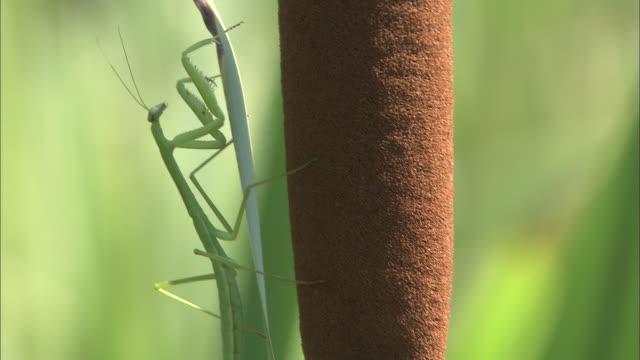 praying mantis on common cattail in kumamoto - bulrush stock videos & royalty-free footage