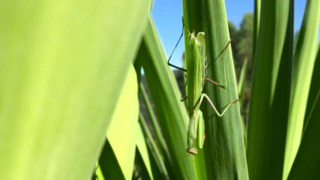 praying mantis on green leaf - disguise stock videos & royalty-free footage